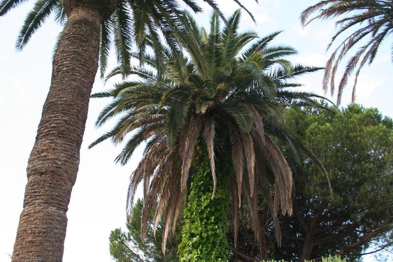 Détail du palmier le plus sale