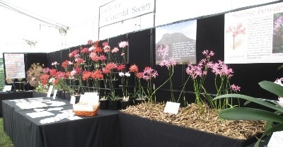 Next to the N.Sarniensis, a group of Nerine Bowdenii. In the background are two posters with information about the NAAS Expedition in 2015 to the orginal locations in the Eastern Cape of South Africa from where the first examples of Nerine Bowdenii were sent back to Devon by Athelstan Cornish-Bowden in 1897.
