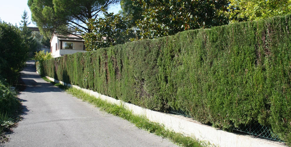 Haie de cyprés aprés la taille, à Nice