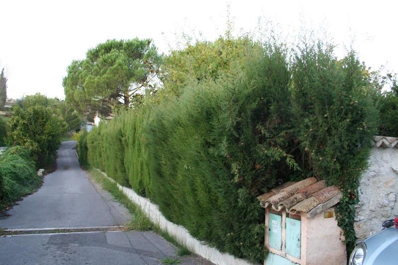 Haie de cyprés avant la taille, à Nice