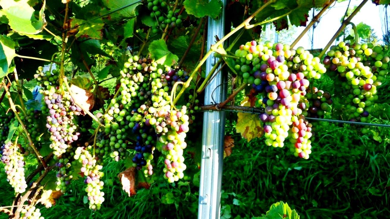 Üppiges Fruchtwachstum