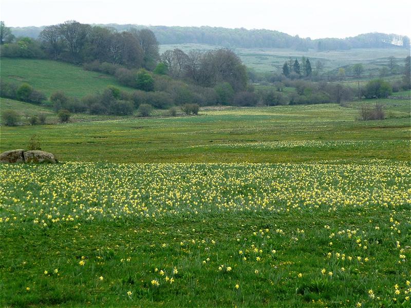 Märzenbecher in voller Blüte. Die Aubrac ist eine Landschaft im südwestlichen Zentralmassiv Frankreichs