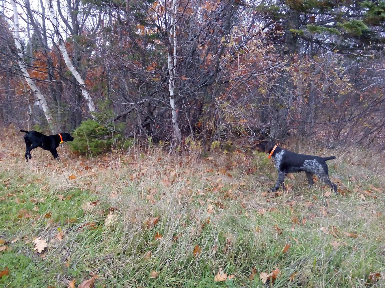 Helka et Darwin à l'arrêt sur lièvre variable au Canada