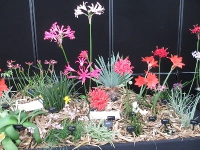 We exhibited other examples of Amaryllids, besides Nerines.....