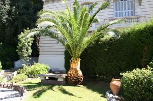 Palmier après la taille