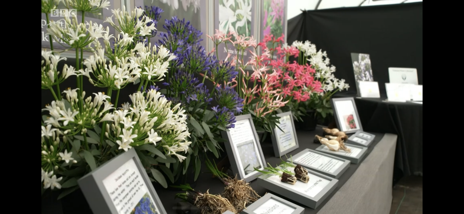Another beautiful and informative display of Nerines and Agapanthus.