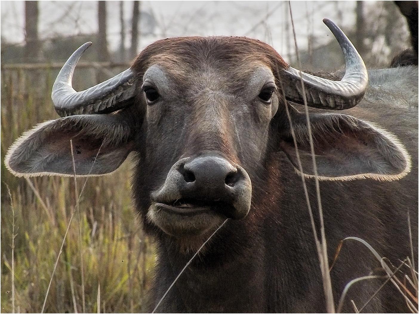 Indian Buffalo