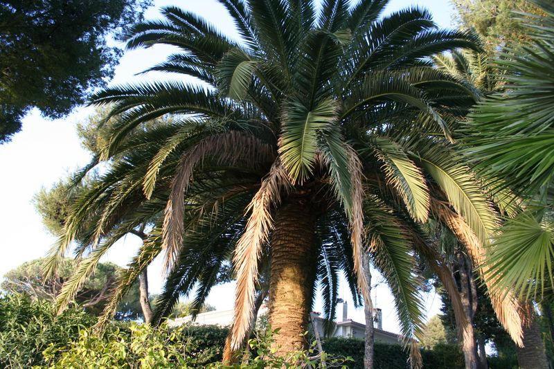 Palmier PHOENIX avant la taille en marguerite