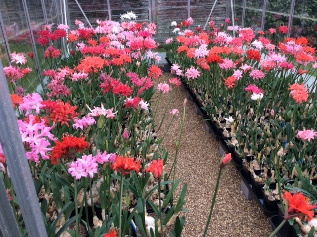 Beautiful Nerine sarniensis looking stunning in Chris' greenhouses.