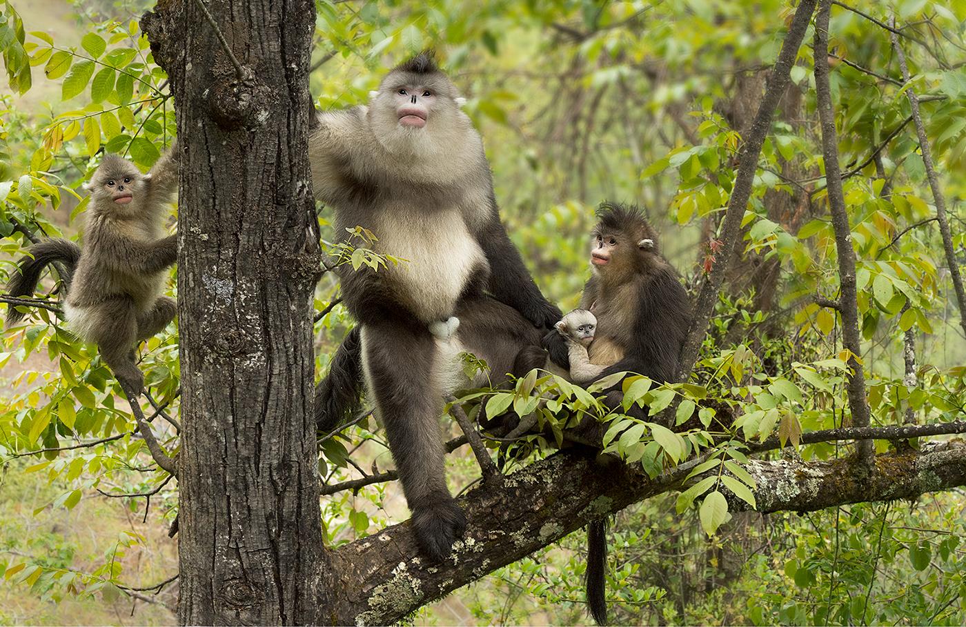 1st Place: Yunnan Black Snub Nose Monkeys (Margaret Tabner)