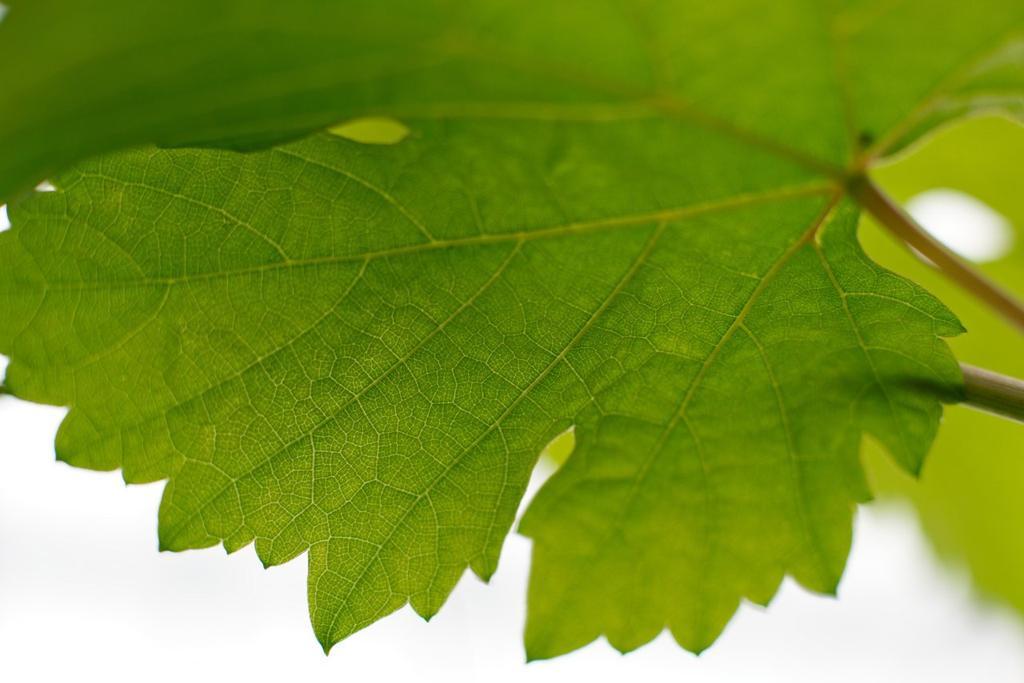 La vigne est une plante modèle pour tester les systèmes de défense des plantes (SDN)